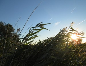 Wind und Sonne im Schilf